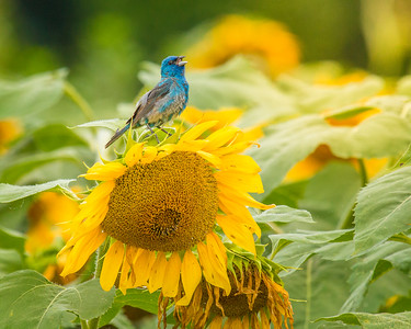7494Sunflowers Knoxville Great Smoky Mountains Summer TWRA Birding_