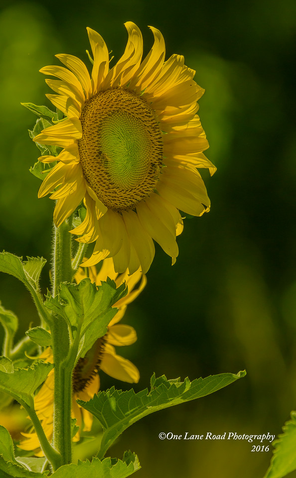 Single-Sunflower-7-2-2016-watermarked-for-WEB