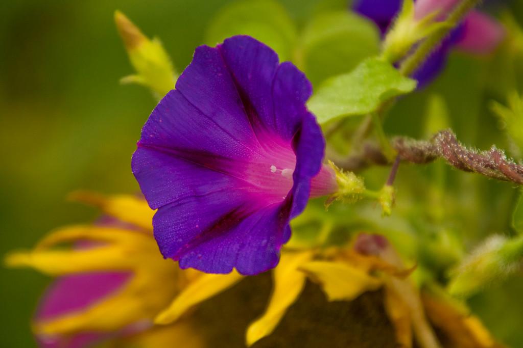 7200Sunflowers Knoxville Great Smoky Mountains Summer TWRA Birding_
