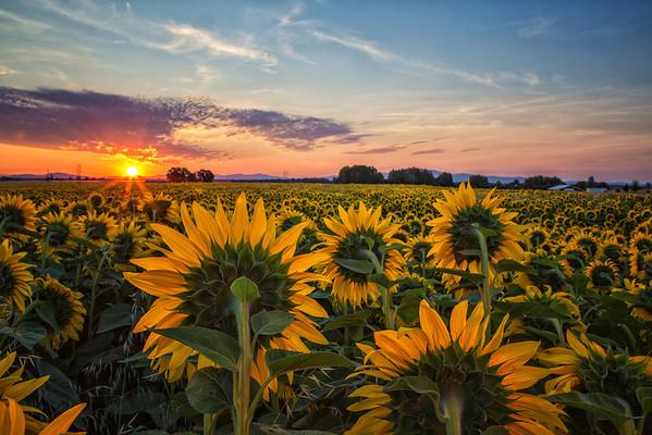 Sunflowers (2013)