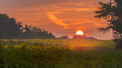 Sunrise and Sunflowers