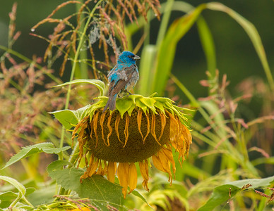 7456Sunflowers Knoxville Great Smoky Mountains Summer TWRA Birding_