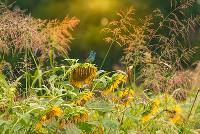 7374Sunflowers Knoxville Great Smoky Mountains Summer TWRA Birding_
