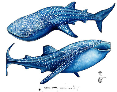 Whale Shark's