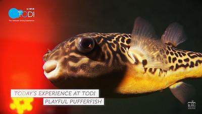 TODY TODAY: Playful Pufferfish
