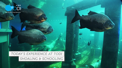 Today's Experience @ TODI - Shoaling & Schooling