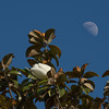 071216 Magnolia Tree Blossom and Moon - Salinas 004-002