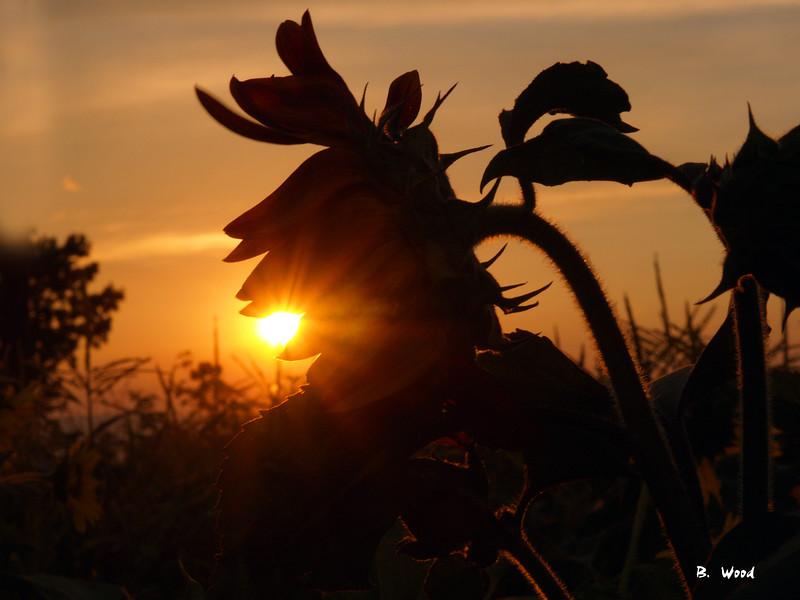 SF 9069<br /> Sunflower silhouette.