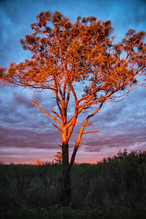 OBX Tree
