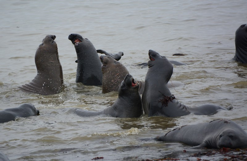Molting young Male Elephant Seals cooling off in the water