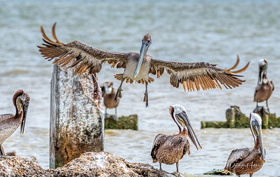 11:57am...Brown Pelican utilizes maximum wing span and flaps to touch down on the beach