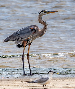 11:56am...This Great Blue Heron stands beach-side for a midday snack possibility