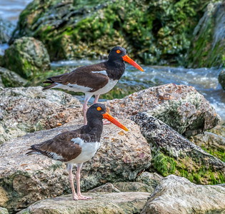 11:42am...American Oystercatchers pause for a breather