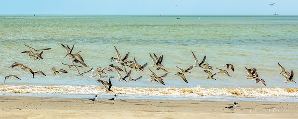 10:59am...Black Skimmers arrive in droves