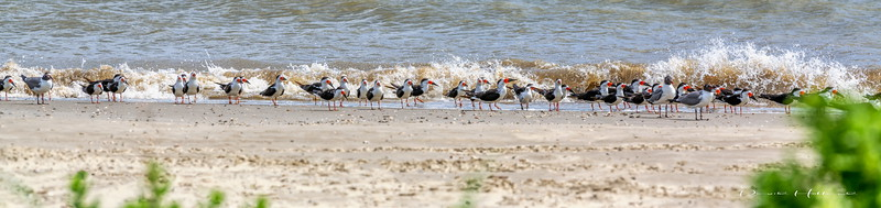 10:58am...Black Skimmers standing at the shoreline for a rest and always aware of their surroundings