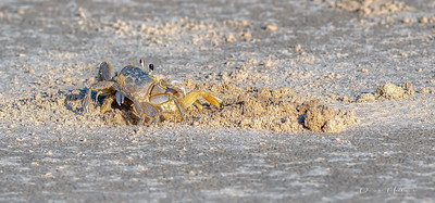 6:55pm...Two Ghost Crabs fighting for homestead rights