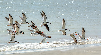 11:02am...Black Skimmers cruising in for  beach rest