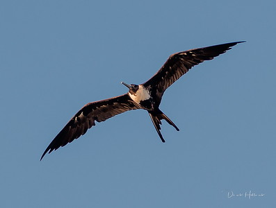5:47pm...Did you know the Frigatebird can sleep while flying?? Yep, with one eye open they can sleep and fly--crazy! How long can they stay in the air without landing?-One great Frigatebird, being tracked by satellite in the Indian Ocean, stayed aloft for two months!! Finally, they are not equipped to land on water and thus rely on thermals to quickly lift them