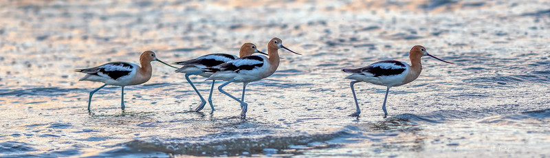 7:46am...Avocets were the only animals present at the Jetties