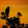 Silhouette of Great blue heron perched atop a Mangrove tree at Ten Thousand Islands National Wildlife Refuge, Naples, Florida