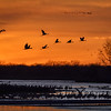 Migrating Sandhill cranes (Grus canadensis) roosting in the Platte River at sunset, Nebraska