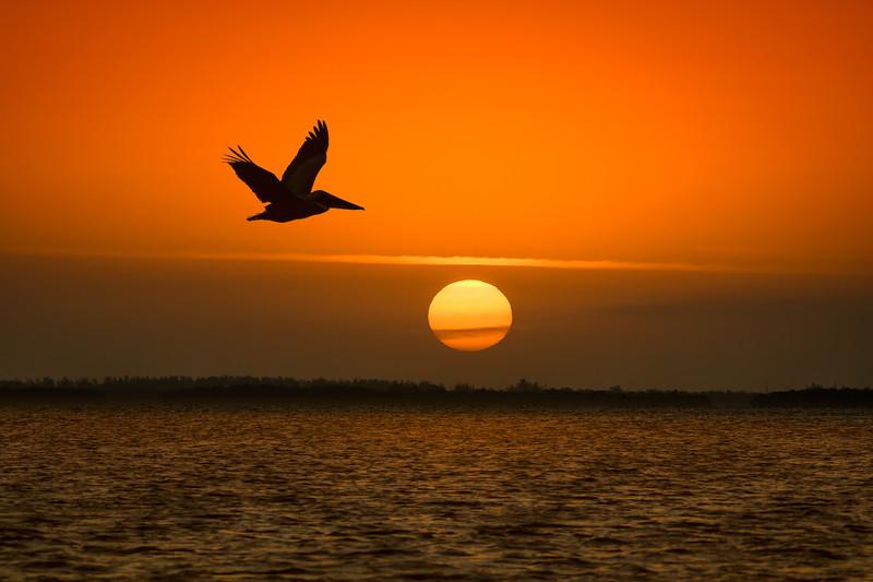 Brown Pelican in flight at sunrise on Captiva Island, Florida