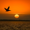 Brown Pelican in flight at sunrise on Captiva Island, Florida