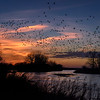Sandhill Cranes (Grus canadensis) flying over the Platte River at sunset near Alda, Nebraska during their annual migration