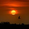 Caspian tern in flight over Ten Thousand Islands National Wildlife Refuge at sunrise, Naples, Florida