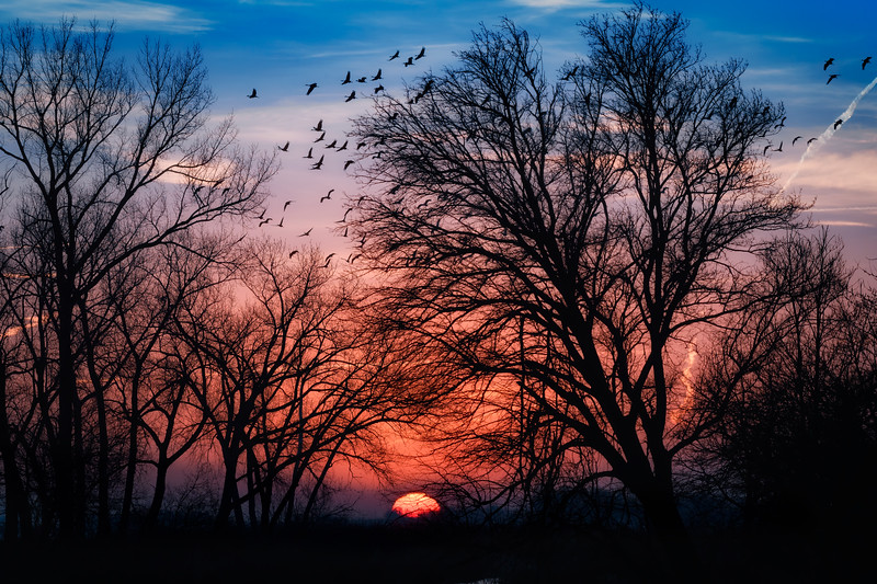 Sandhill cranes in flight at sunrise along the Platte River, Nebraska