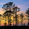Silhouette of Slash pine trees at sunset in Babcock Wildlife Management Area near Punta Gorda, Florida