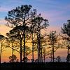 Silhouette of Slash pine trees at sunset in Babcock Wildlife Management Area near Punta Gorda, Florida