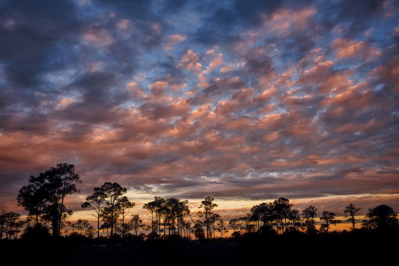 Sunrise over Slash Pine trees at Babcock Wildlife Management Area near Punta Gorda, Florida