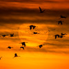 Sandhill Cranes (Grus canadensis) in flight against the setting sun near Wood River, Nebraska