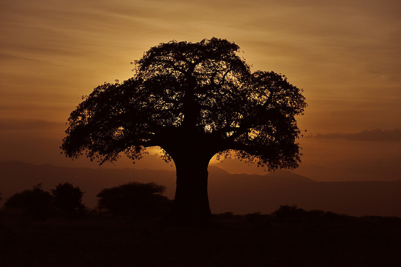 Baobab Tree at Sunrise, Tarangire National Park, Tanzania