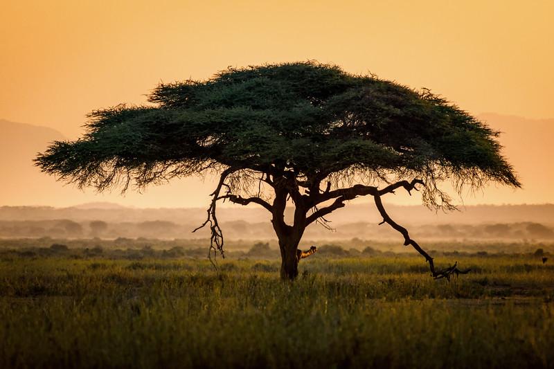 Umbrella thorn acacia tree (Vachellia tortilis) at sunrise in Amboseli National Park, Kenya, East Africa