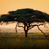 Umbrella thorn acacia tree (Vachellia tortilis) at sunrise in Amboseli National Park, Kenya, East Africa