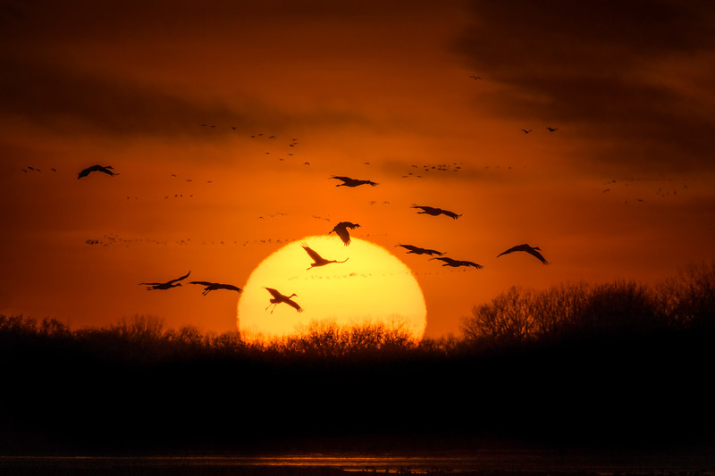 Sandhill Cranes(Grus canadensis) landing in the Platte River at sunset near Gibbon, Nebraska during the annual Sandhill Crane migration
