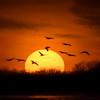 Sandhill Cranes(Grus canadensis) landing in the Platte River at sunset near Gibbon, Nebraska during the annual Sandhill Crane migration