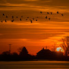 Sandhill Cranes in flight over Nebraska farmhouse at sunrise