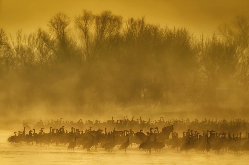 Sandhill Cranes in the fog at sunrise near Kearney, Nebraska