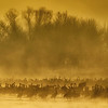 Sandhill Cranes in the fog at sunrise near Kearney, Nebraska