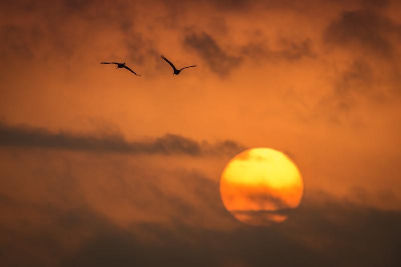 Sandhill Cranes (Grus canadensis) fly over the sunrise near Gibbon Bridge, Nebraska