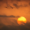 Sandhill Cranes (Grus canadensis) fly over the sunrise near Gibbon Bridge, Nebraska