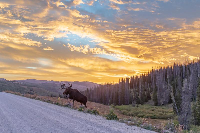 Bull Moose at Sunrise