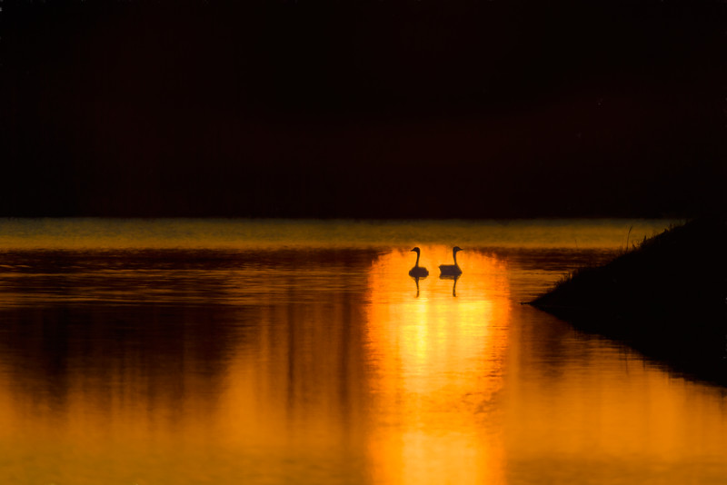 Canada Geese couple at sunrise, Platte River near Wood River, Nebraska