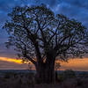Baobab tree at sunrise, Tarangire National Park, Tanzania, East Africa