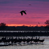 Sandhill Cranes (Grus canadensis) at dawn on the Platte River, Nebraska