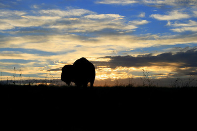 """Bison Sunset"""