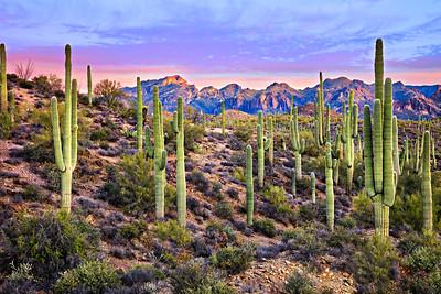 4972 Saguaros